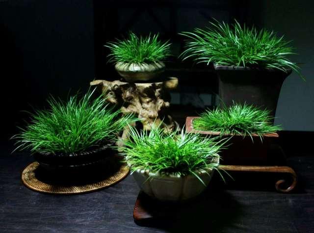 认识身边的植物 | 菖蒲